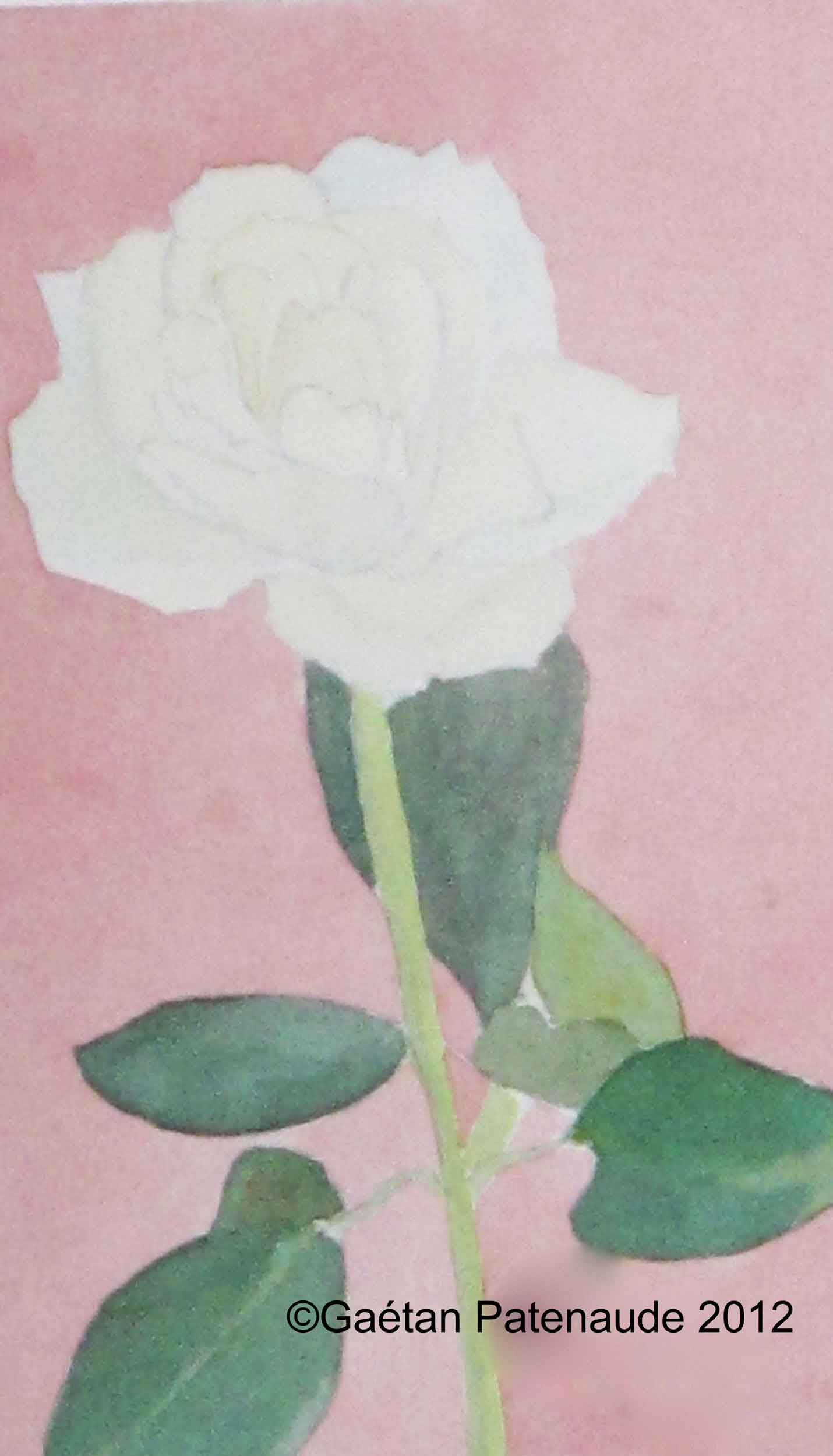1993-60 Rose blanche